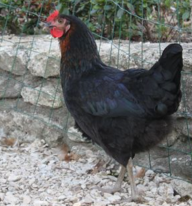 poule sussex noir oeuf blanc